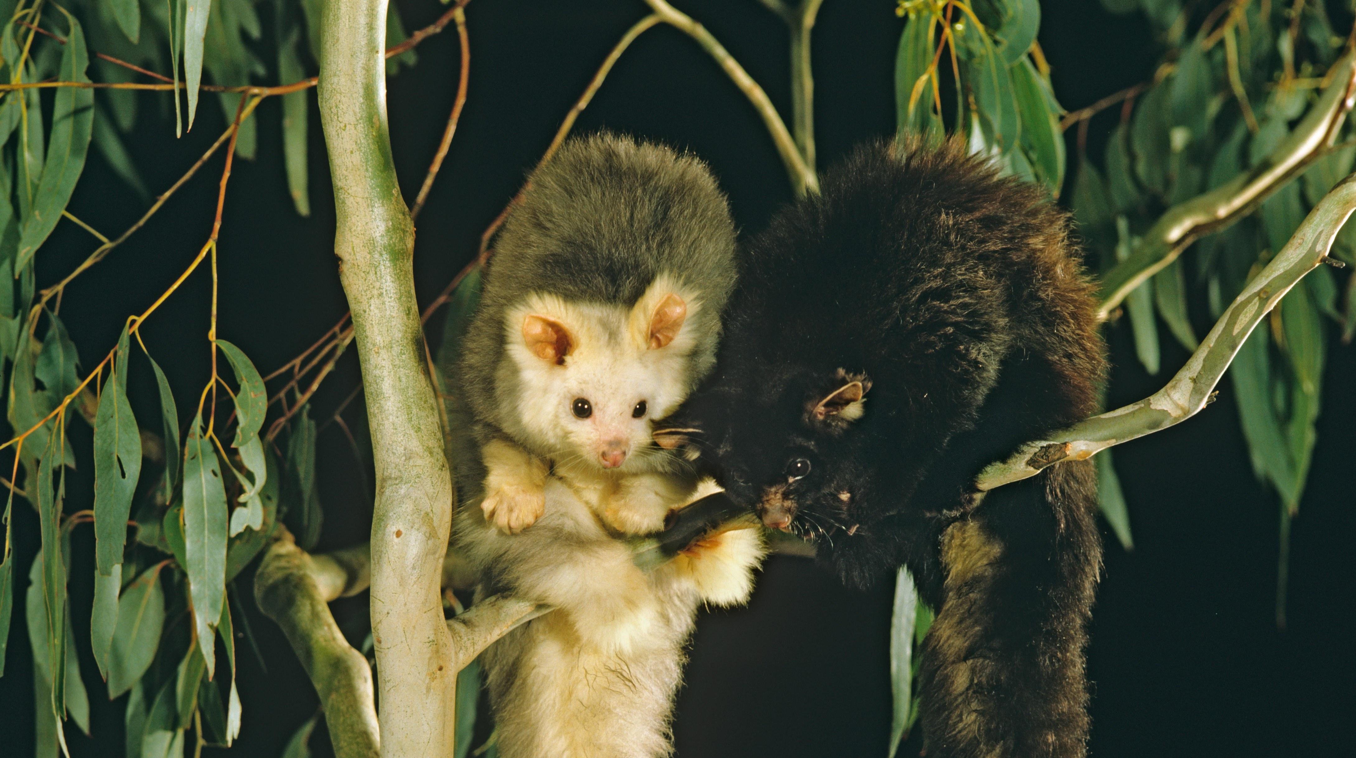 Have you met Australia's largest gliding possum?
