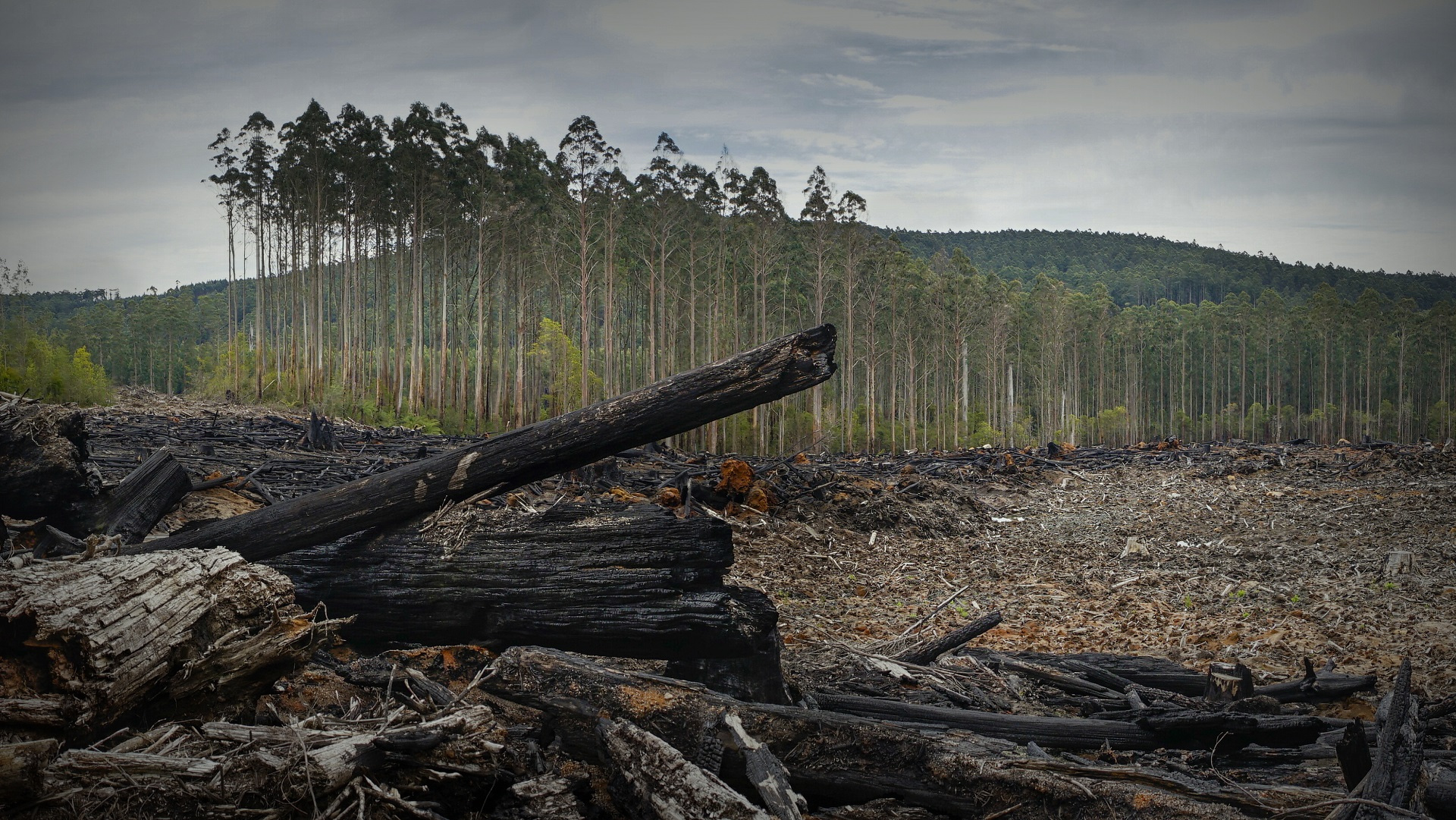 In Victoria, precious forests are logged for paper