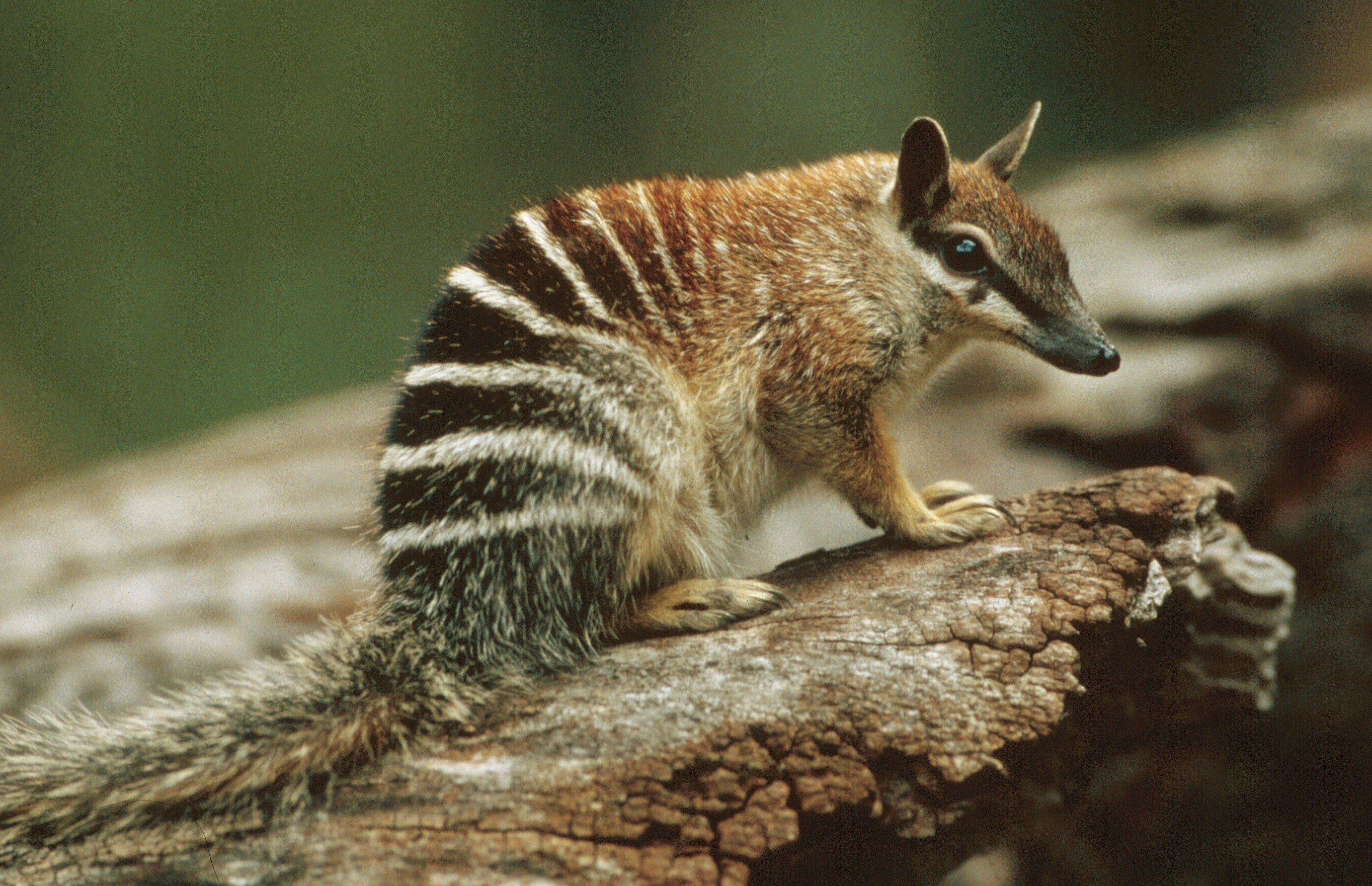 Numbat (WA) | Wilderness Society