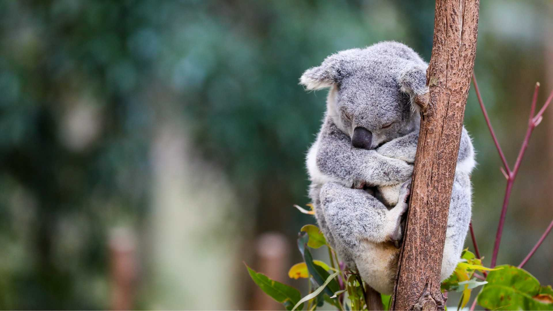National icon: the koala